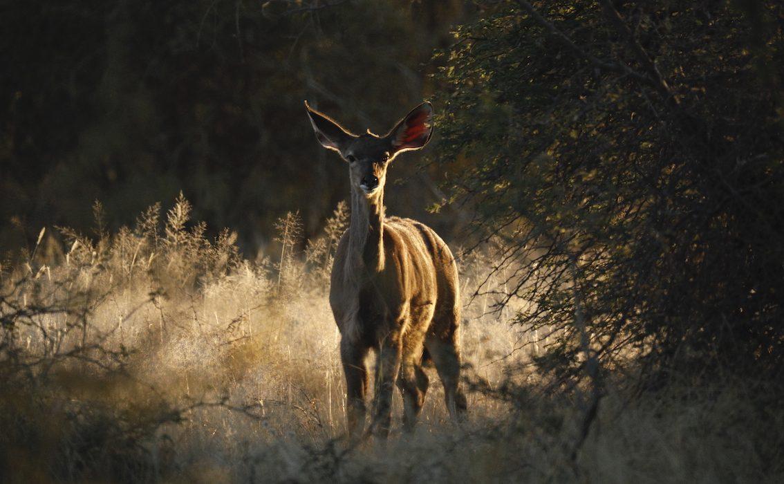 Kudu Sunset copy